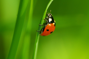 Ladybug sitting on the blade of grass image small